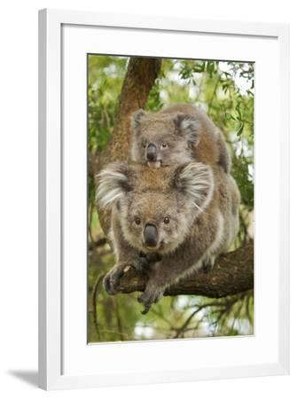 Koala with Young on Back--Framed Photographic Print