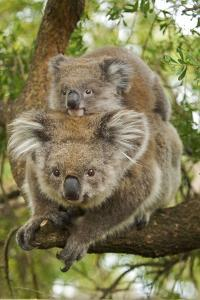 Koala with Young on Back