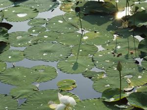 Water Liliy at Yuanmingyuan, Beijing, China by Kober Christian