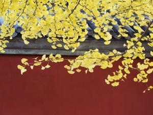 Yellow Autumn Coloured Leaves Against a Red Wall in Ritan Park, Beijing, China by Kober Christian