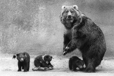 Kodiak Bear Family-Evening Standard-Photographic Print