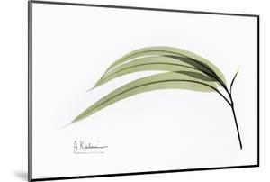 Eucalyptus Leaves, X-ray by Koetsier Albert