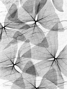 False Shamrock Leaves, X-ray by Koetsier Albert