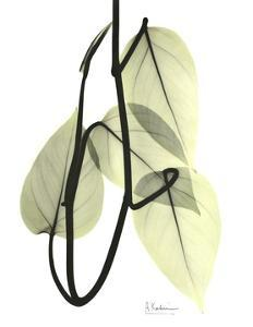 Pothos Leaves, X-ray by Koetsier Albert