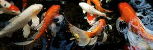 Koi Carp Swimming Underwater