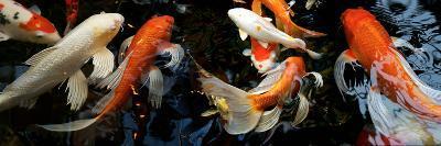 Koi Carp Swimming Underwater--Photographic Print