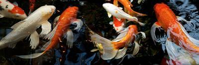 Koi Carp Swimming Underwater