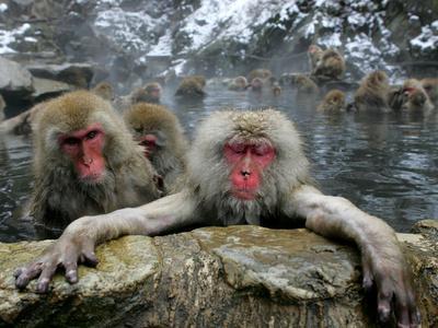 Japan Hot Spa Monkeys