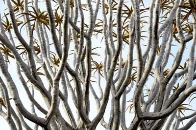 https://imgc.artprintimages.com/img/print/kokerboom-or-quiver-tree-aloe-dichotoma-quiver-tree-forest-kalahari-namibia_u-l-q13a4fc0.jpg?p=0
