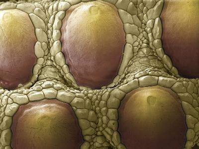 Komodo Dragon Skin, SEM-Steve Gschmeissner-Photographic Print
