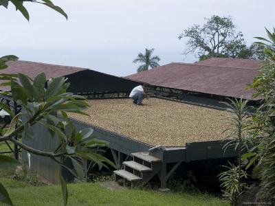 Kona Coffee Beans Drying in the Sun, Greenwell Coffee Plantation, Kona, Hawaii-Ethel Davies-Photographic Print
