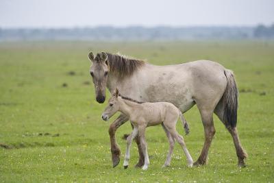 Konik Horse, Mare with Young Foal, Oostvaardersplassen, Netherlands, June 2009-Hamblin-Photographic Print