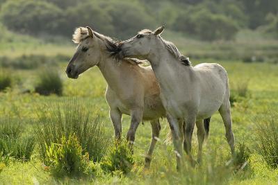 Konik Horses Mutual Grooming, Wild Herd in Rewilding Project, Wicken Fen, Cambridgeshire, UK, June-Terry Whittaker-Photographic Print