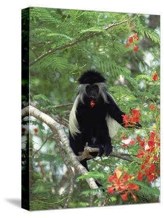 Angolan Colobus or Angolan Black and White Colobus (Colobus Angolensis), Kenya