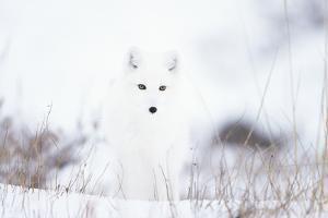 Arctic fox (Alopex lagopus) in snow, Churchill, Canada by Konrad Wothe