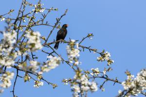 Blackbird (Turdus merula) male in singing in spring, Bavaria, Germany, April by Konrad Wothe