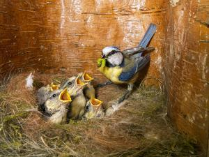 Blue tit  (Cyanistes caeruleus) feeding young in the nestbox,  Bavaria, Germany, May by Konrad Wothe