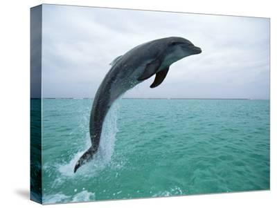 Bottlenose Dolphin (Tursiops Truncatus) Leaping, Honduras, Central America