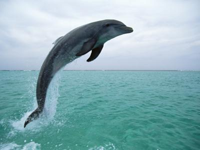 Bottlenose Dolphin (Tursiops Truncatus) Leaping, Honduras, Central America by Konrad Wothe