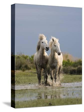 Camargue Horse (Equus Caballus) Pair Running in Water, Camargue, France