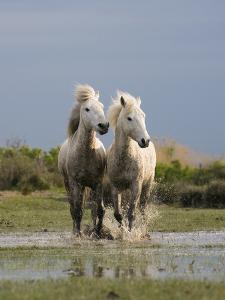 Camargue Horse (Equus Caballus) Pair Running in Water, Camargue, France by Konrad Wothe