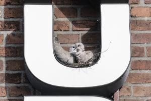 Collared Doves (Streptopelia Decaocto) Nesting in Letter U of Neon Advertising Sign by Konrad Wothe