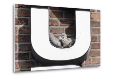 Collared Doves (Streptopelia Decaocto) Nesting in Letter U of Neon Advertising Sign