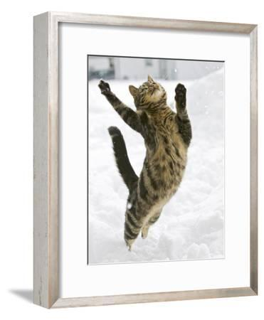 Domestic Cat (Felis Catus) Male Leaping in Snow, Germany