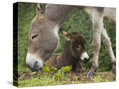Donkey (Equus Asinus) Adult with Foal, Bavaria, Germany