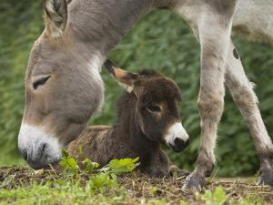 Donkey (Equus Asinus) Adult with Foal, Bavaria, Germany by Konrad Wothe