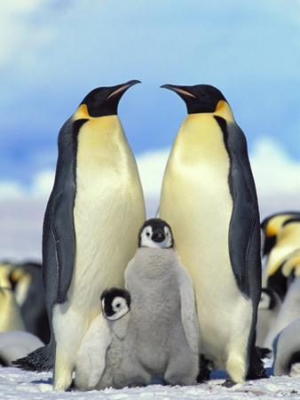 Emperor Penguin (Aptenodytes Forsteri) Parents with Chicks, Antarctica by Konrad Wothe