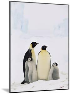 Emperor Penguin (Aptenodytes Forsteri) Parents with Two Chicks, Antarctica by Konrad Wothe