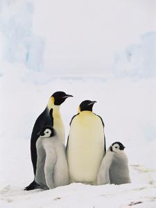 Emperor Penguin (Aptenodytes Forsteri) Parents with Two Chicks, Antarctica by Konrad Wothe