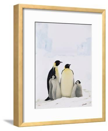 Emperor Penguin (Aptenodytes Forsteri) Parents with Two Chicks, Antarctica