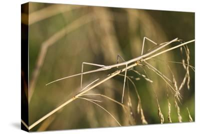 European Stick Insect On Grass (Bacillus Rossius) Mediterranean, Italy, Europe