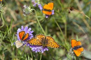 Fritillary butterfly with Scarce copper butterflies, Alps, France by Konrad Wothe