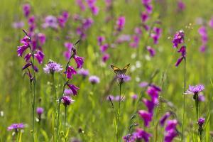 Gladiolus flowering with butterfly, Upper Bavaria, Germany by Konrad Wothe
