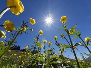 Globe flowers and bright sunshine, Augstmatthorn Mountain, Swiss Alps, Switzerland by Konrad Wothe