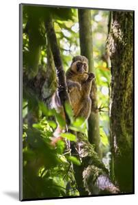 Golden Bamboo Lemur (Hapalemur Aureus) Male Eating Bamboo-Shoot by Konrad Wothe