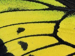 Goliath Birdwing Butterfly (Ornithoptera Goliath Samson) Wing, Irian Jaya, Indonesia by Konrad Wothe