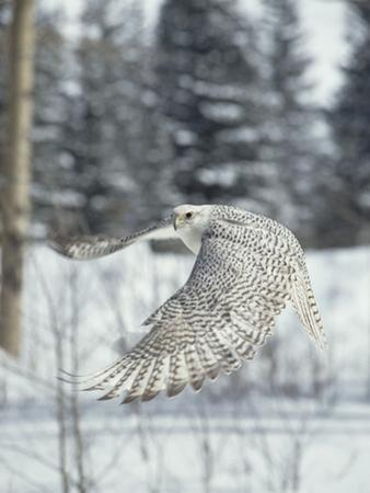 Gyrfalcon (Falco Rusticolus) Adult Female in White Phase Flying, North America
