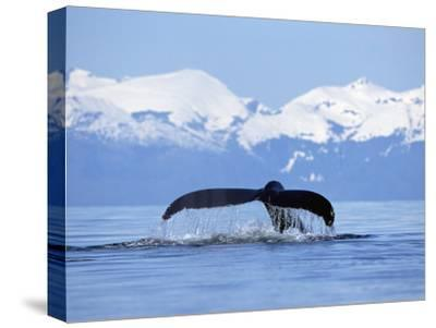 Humpback Whale (Megaptera Novaeangliae) Tail Against Snowy Mountains, Alaska
