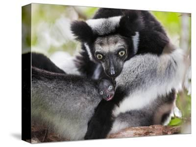 Indri (Indri Indri) Grooming Baby In Rainforest, East-Madagascar, Africa