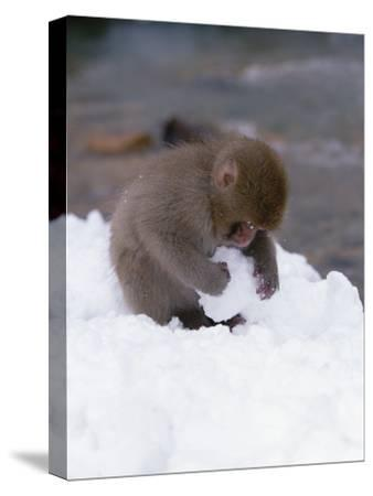 Japanese Macaque or Snow Monkey (Macaca Fuscata) Baby Playing with Snowball, Japan