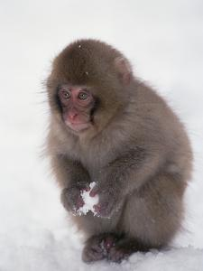 Japanese Macaque or Snow Monkey (Macaca Fuscata) Baby Playing with Snowball, Japan by Konrad Wothe