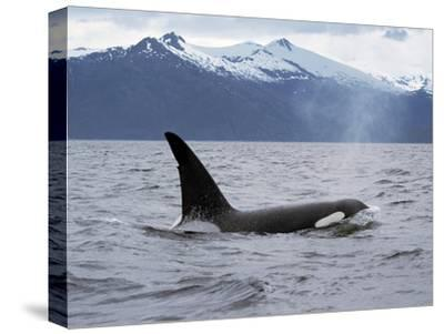 Killer Whale (Orcinus Orca) Surfacing Beneath Mountain Range, Inside Passage, Alaska