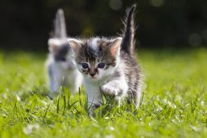 Kittens Exploring Garden Lawn, Germany by Konrad Wothe