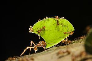 Leafcutter ant (Atta cephalotes,) carrying pieces of leaves, Costa Rica. by Konrad Wothe