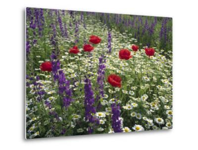 Meadow with Flowers Including Delphinium, Red Poppies and Daisies, Hungary