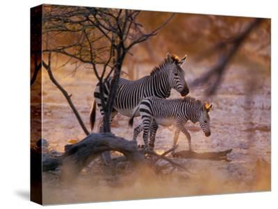 Mountain Zebra (Equus Zebra) Mother and Foal, Etosha National Park, Namibia